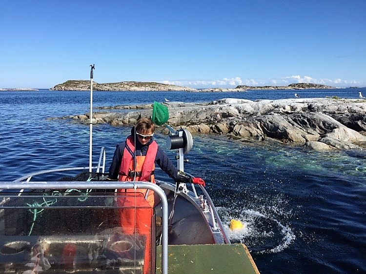 Sett dine egne krabbeteiner og hent opp de deiligste krabber fra skjærgården ved Bogøya i Frøya